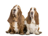 Two Basset Hounds sitting, isolated on white — Stock Photo