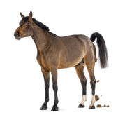 Male Belgian Warmblood, BWP, 3 years old, defecating against white background — Stock Photo