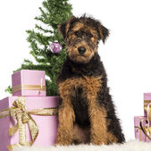 Airdale Terrier puppy sitting in front of Christmas decorations against white background — Stock Photo