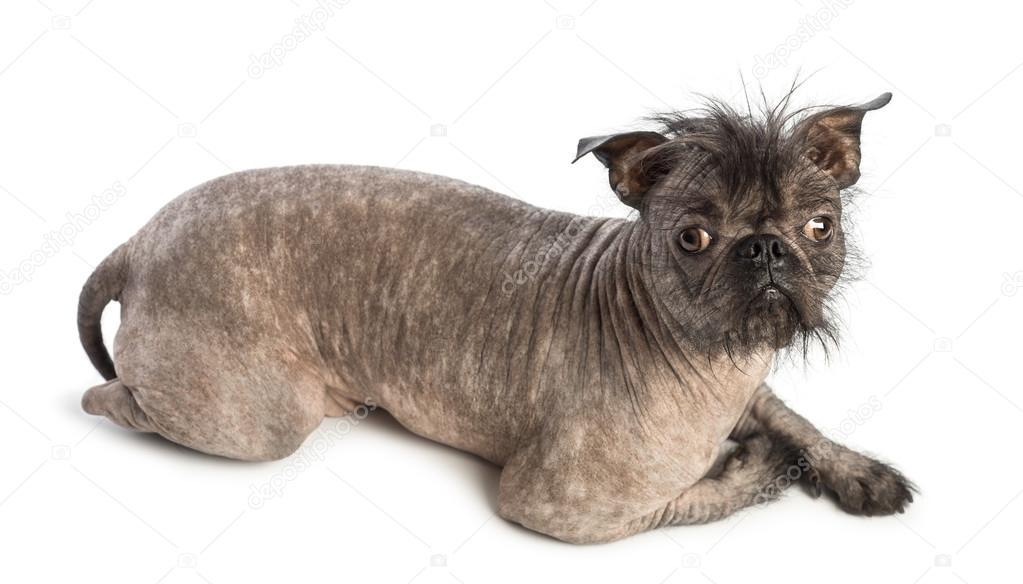 Alta vista de un perro sin pelo de raza mixta, mezcla ...