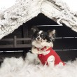 Stock Photo: Chihuahua sitting and wearing a Christmas suit in front of Christmas nativity scene with Christmas tree and snow against white background