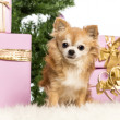 Chihuahua sitting in front of Christmas decorations against white background - Foto Stock