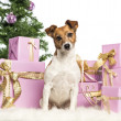 Stock Photo: Jack Russell Terrier sitting in front of Christmas decorations against white background