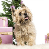 Cairn Terrier standing in front of Christmas decorations against white background — Stock Photo