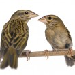 Two Red Fods perched on a branch, facing each other - Foudia ma — Stock Photo