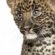Stock Photo: Close-up of Spotted Leopard cub - Pantherpardus, 7 weeks old