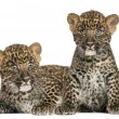 Stock Photo: Two Spotted Leopard cubs lying down and sitting - Pantherpardu
