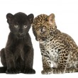 Stock Photo: Two Black and Spotted Leopard cubs, 3 and 7 weeks old, isolated