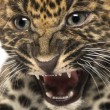 Stock Photo: Spotted Leopard cub - Pantherpardus, 7 weeks old