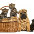 Постер, плакат: Sharpei puppy with Black Leopard cub and Spotted Leopards cubs i