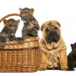 Sharpei puppy with Black Leopard cub and Spotted Leopards cubs i — Stock Photo