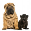 Shar pei puppy and Black Leopard cub sitting next to each other, — Stock Photo #25144299