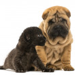 Shar pei puppy and Black Leopard cub sitting next to each other, — Stock Photo #25144333