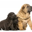 Shar pei puppy and two Black Leopard cubs sitting and looking aw — Stock Photo #25144365