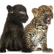 Stock Photo: Black and Spotted Leopard cubs sitting next to each other, isola