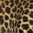 Macro of a Spotted Leopard cub's fur - Panthera pardus, 7 weeks - Stock Photo