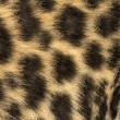 Macro of Spotted Leopard cub's fur - Pantherpardus, 7 weeks — Stock Photo #25144517