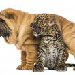 Stock Photo: Shar pei puppy standing over roaring spotted Leopard cub, isolated on white