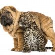 Stock Photo: Shar pei puppy standing over spotted Leopard cub, isolated on