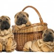 Three Sharpei puppies , sitting, lying and put in a wicker baske - Stock Photo