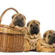 Three Sharpei puppies, sitting, lying and put in a wicker basket - Stock Photo