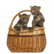 Stock Photo: Two Spotted Leopard cubs in wicker basket, isolated on white