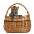Stock Photo: Spotted Leopard cub in wicker basket, isolated on white