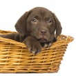 Close-up of a Labrador Retriever Puppy lying down in wicker bask — Stock Photo #25145861