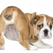 Rear view of an English Bulldog Puppy bottom up, 2 months old, i — Stock Photo #25146969