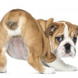 Rear view of an English Bulldog Puppy bottom up, 2 months old, i — Stock Photo