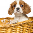 Close-up of a Cavalier King Charles Puppy, 2 months old, in wick - Stock Photo