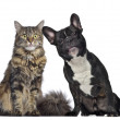 Maine coon and French Bulldog sitting next to each other, isolat — Stock Photo