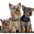Group of Yorkshire Terrier, 3 and 2 years old and 3 months old, — Stock Photo