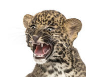 Spotted Leopard cub roaring - Panthera pardus, 7 weeks old, isol — Stock Photo