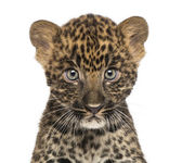 Close-up of a Spotted Leopard cub starring at the camera - Panth — Stock Photo