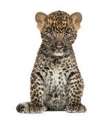 Gefleckte leopard cub sitzung - panthera pardus, 7 wochen alt, isol — Stockfoto