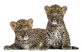 Two Spotted Leopard cubs lying down and sitting - Panthera pardu — Stock Photo
