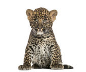 Spotted Leopard cub sitting - Panthera pardus, 7 weeks old, isol — Stock Photo
