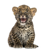 Spotted Leopard cub sitting and roaring- Panthera pardus, 7 week — Stock Photo