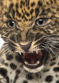 Spotted Leopard cub - Panthera pardus, 7 weeks old — Stock Photo