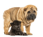 Black Leopard cub lying down under a Shar pei puppy standing, is — Stock Photo
