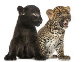 Black and Spotted Leopard cubs sitting next to each other, isola — Stock Photo