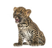 Spotted Leopard cub sitting- Panthera pardus, 7 weeks old, isola — Stock Photo