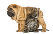 Shar pei puppy standing over a spotted Leopard cub, isolated on — Stock Photo