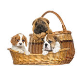 Sharpei, Cavalier King Charles and English Bulldog puppies in wi — Stock Photo