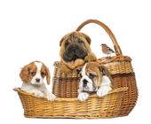 Sharpei, Cavalier King Charles, English Bulldog puppies and Comm — Stock Photo