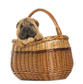 Sharpei puppy in a wicker basket, 11 weeks old, isolated on whit — Stock Photo