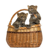 Two Spotted Leopard cubs in wicker basket, isolated on white — Stock Photo