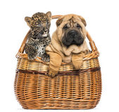 Sharpei puppy and spotted Leopard cub in a wicker basket, isolat — Stock Photo