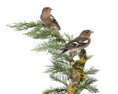 Two Common Chaffinch Males - Fringilla coelebs - perched on a gr — Stock Photo